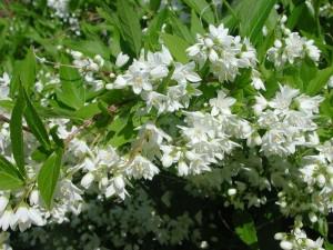Flowers of Slender Deutzia