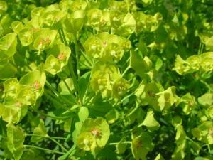 Flowers of Spurge