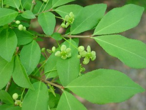 Flowers of Winged Euonymus