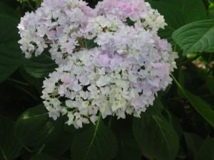 Flowers of Bigleaf Hydrangea