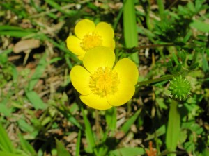 Flowers of Buttercup