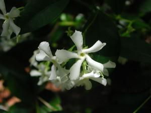 Flowers of Confederate Jasmine