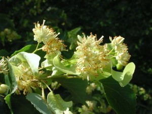 Flowers of European Linden