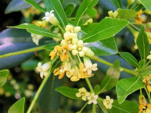 Flowers of Hardy Pittosporum