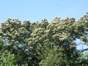 Flowers of Japanese Chestnut