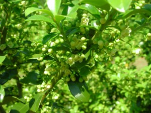 Flowers of Japanese Holly