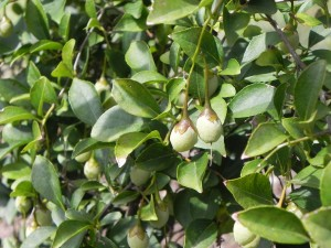 Fruits of Japanese Snowbell