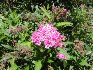 Flowers of Darts Red Japanese Spirea