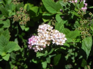 Flowers of Japanese Spirea - Little Princess