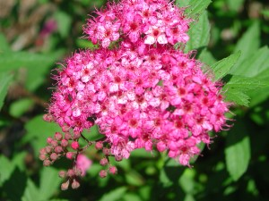 Flowers of Japanese Spirea