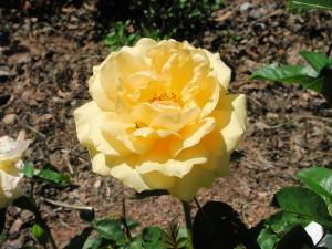 Flower of Butter Gold Rose