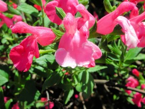 Pink Flowers of Salvia