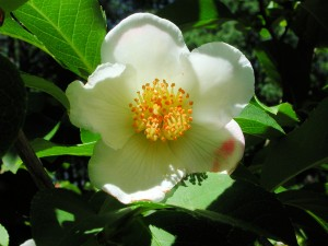 Flower of Stewartia