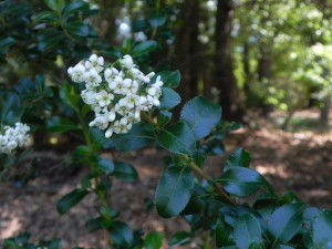 Flowers and Foliages of Escallonia
