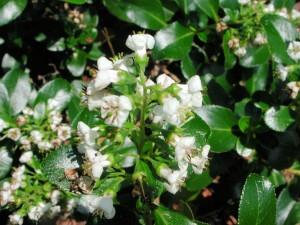 White Flowers of Escallonia