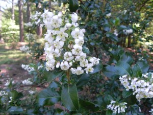 Flowers of Escallonia