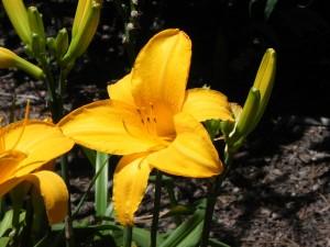 Hemerocallis Liliaceae - Chicago Sunrise