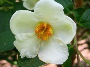 Flower of Japanese Stewartia