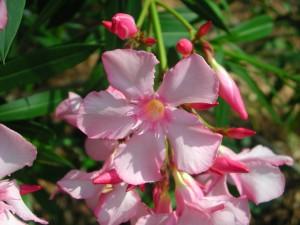 Flowers of Oleander
