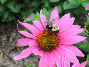Echinacea and a Bee