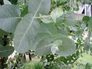 Leaves of Eucalyptus