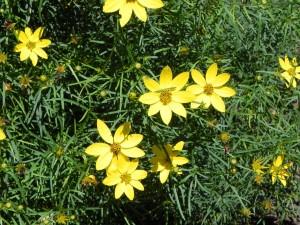 Flowers of Thread Leaf Tickseed
