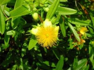 Flower of Shrubby St. Johnswort