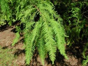 Leaves of Baldcypress