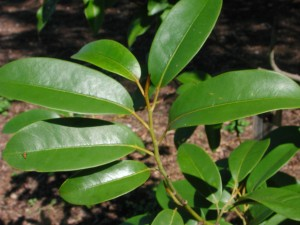 Leaves of Broadpetal Lily Tree