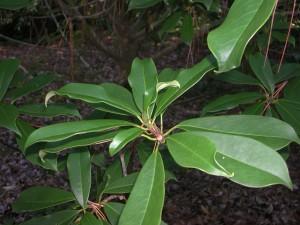 Leaves of Red Lotus Tree