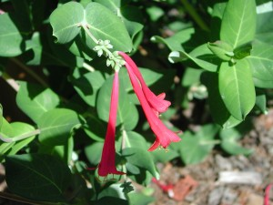 Flowers of Trumpet Honeysuckle