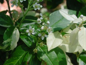 Tiny White Flowers of Chinese Stranvaesia