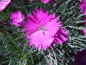 Flowers of Firewitch Dianthus