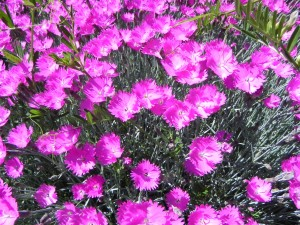Pink Flowers of Firewitch Dianthus