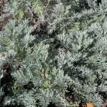 Foliage of Artemisia