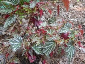 Leaves of Begonia Josephine