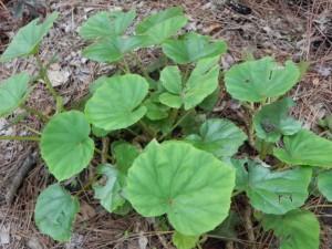 Foliages of Begonia Sericoneura