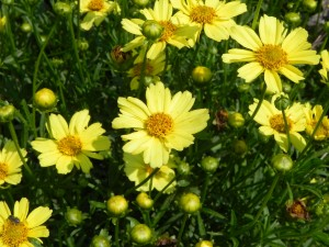 Yellow Flowers of Creme Brulee Coreopsis