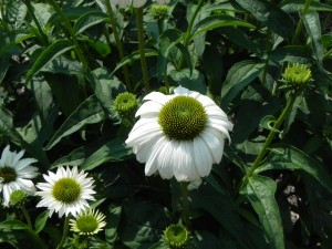 White Flowers of White Swan Echinacea