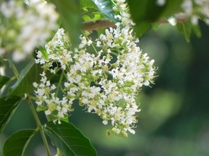 White Flowers of Fantasy Crapemyrtle