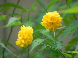 Flowers of Japanese rose
