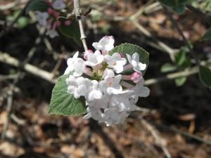 Cluster Flowers of Bitchiu Viburnum