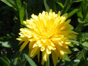 Flower of Pot Marigold
