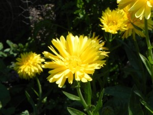 Flowers of Calendula Officinalis