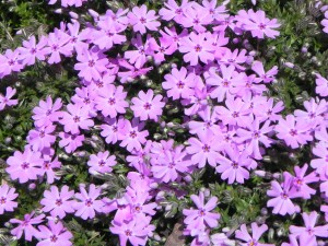 """Pink Flowers of Phlox Subulata """"Fort Hill"""""""