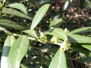 Buds of Prunus Laurocerasus-Schipkaensis