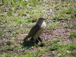 Female Sharp Shinned Hawk