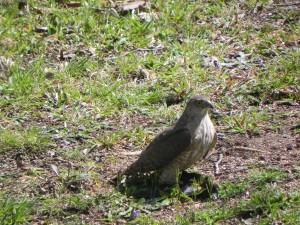Sharp Shinned Hawk & Brown Headed Cowbird