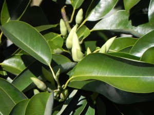 Leaves & Buds of Smiling Fores tLily Tree