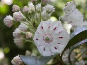 White Mountain Laurel Flower